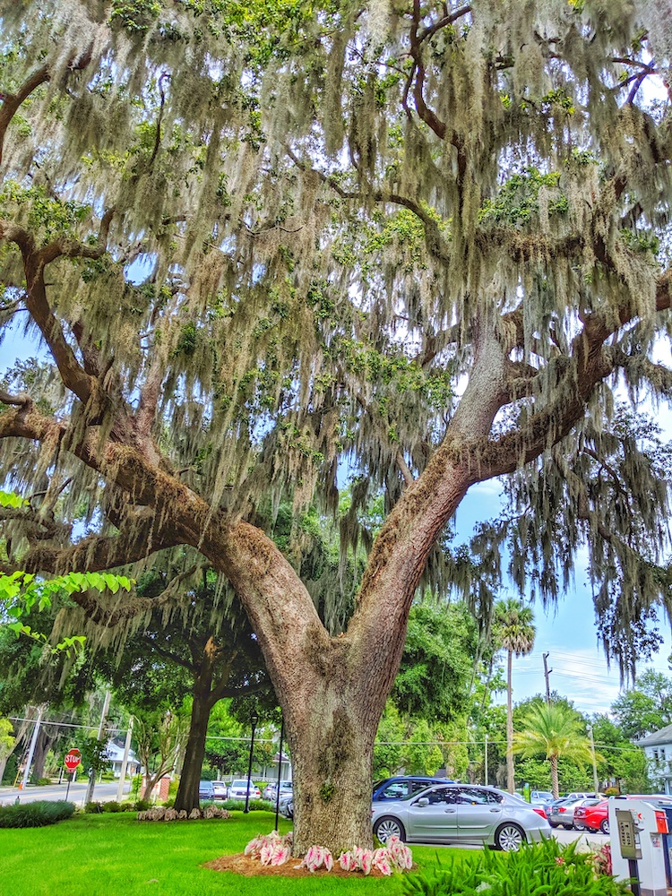 Beautiful live oak tree adorns the front of City Hall in Ocala