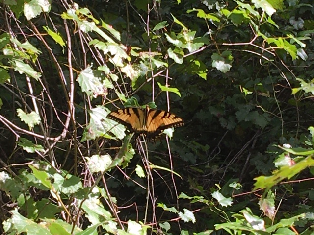 Butterfly On Wild Grapevine At Santos Trailhead