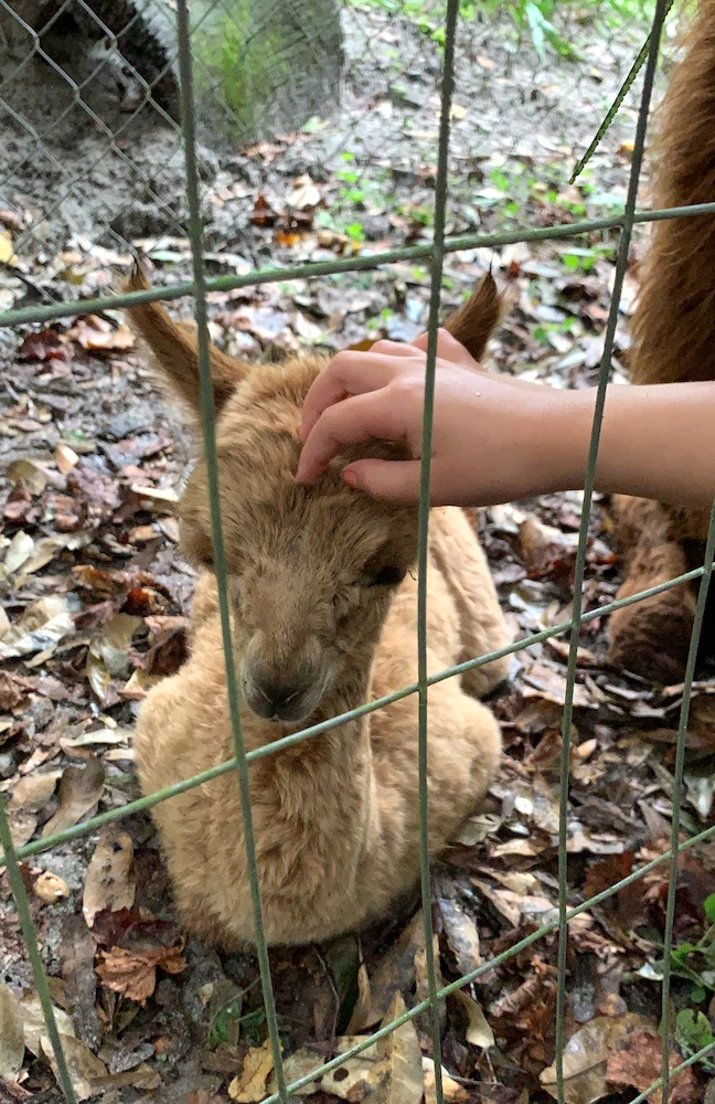 Two-Day-Old Alpaca At Skunkie Acres In Ocala