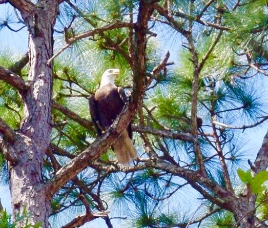 Eagle By 103rd Street Road In SW Ocala