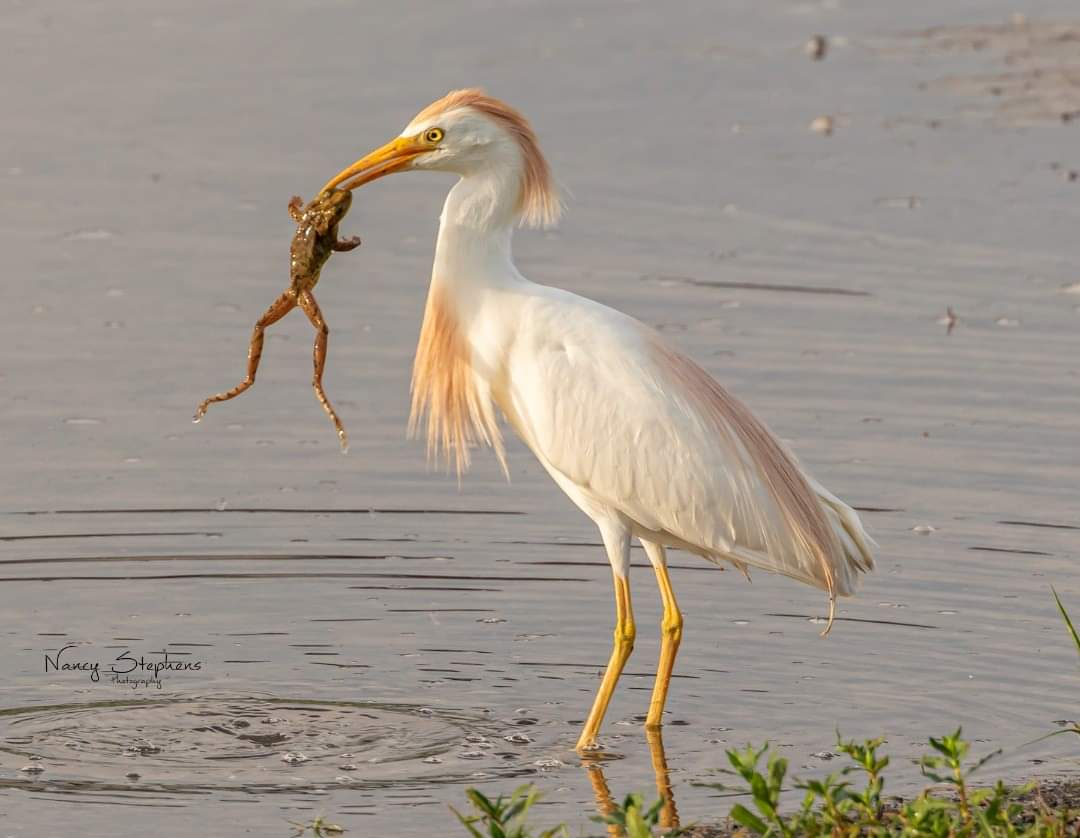 Cattle Egret Catching A Toad